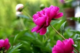 p20170601-0001-Gardening-Pivoine-