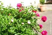 p20170601-0016-Gardening-Pivoine