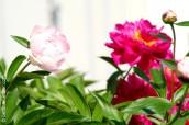 p20170601-0017-Gardening-Pivoine