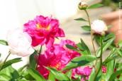 p20170601-0019-Gardening-Pivoine