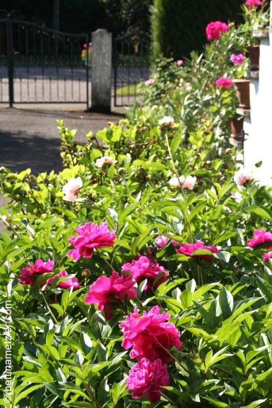 p20170601-0022-Gardening-Pivoine