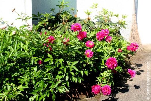 p20170601-0035-Gardening-Pivoine