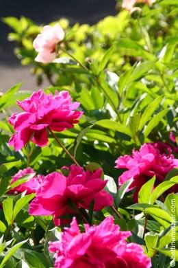 p20170601-0038-Gardening-Pivoine