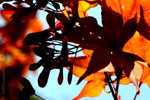 HerbstAhorn-67-2
