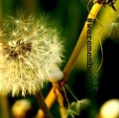 INSTAGRAM_Foto_Pusteblume_20110421-064