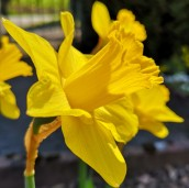 ... in den Garten zu den herrlichen Osterglocken.